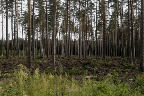 Opinio komentaras Lietuvos žiniose apie galimą manipuliavimą visuomenės nuomone dėl miškų kirtimų